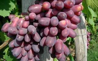 Столовый сорт винограда кармакод