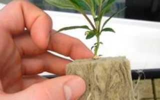 Как вырастить подвой для яблони