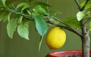 Чем подкормить лимон в домашних условиях во время плодоношения