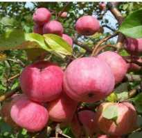 Выращивание яблони спартак