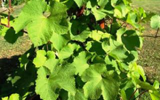 Сорт винограда родина общее описание