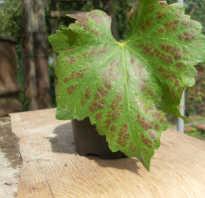 Пятна на листьях винограда опасные симптомы заболеваний
