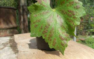 О красных пятнах на листьях винограда