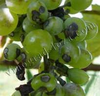 Антракноз винограда лечение и профилактические меры