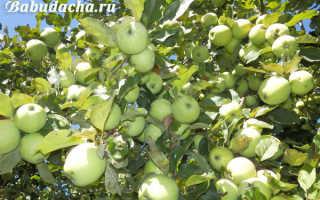 Как привить яблоню к дичке весной пошагово