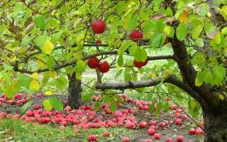 Чем подкормить плодовые деревья и кустарники осенью