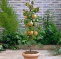 Выращивание груши как ухаживать за деревьями