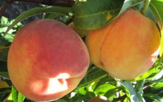 Сорт персика ред хевен характеристика