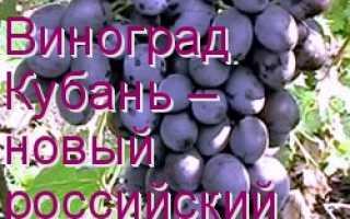 Описание сорта винограда кубань