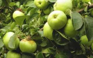Зимние сорта яблок хранящиеся до весны