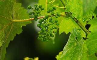 Факторы влияющие на формирование завязей на винограде