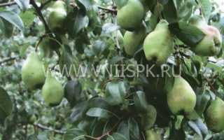 Характеристика сорта груш чудесница