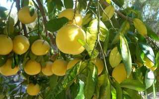 Полезные свойства и вред разных видов грейпфрутов