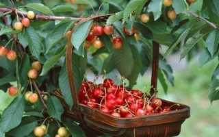 Период первого плодоношения черешни после посадки