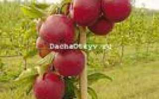 Зимняя колоновидная яблоня джин