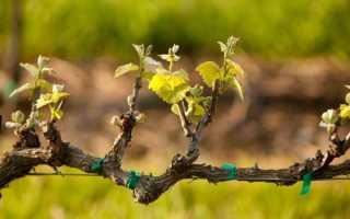 Правильная обработка винограда после его открытия