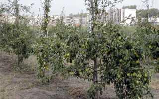 Сорта карликовых груш и их особенности