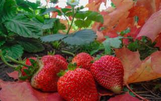 Можно ли сажать клубнику осенью в октябре