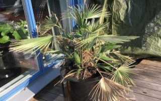 Где растет пальма хамеропс хумилис