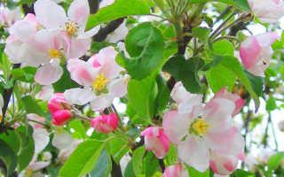 Как восстановить кору на яблоне