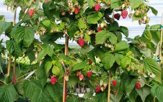 Малина малиновое дерево описание сорта