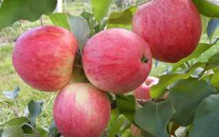 Яблоня сорта спартак особенности сорта посадка и уход