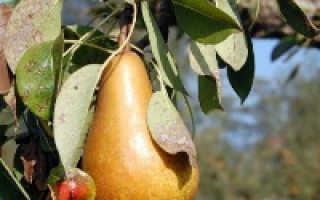 Какие болезни поражают груши