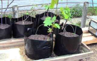 Сроки и правила посадки винограда в открытый грунт