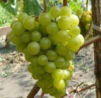 Виноград жемчуг сабо описание сорта фото отзывы