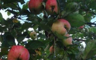 Яблоня осенние сорта