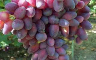 Сорт винограда красотка особенности и правила выращивание