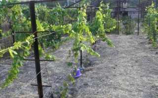 Как правильно сделать опору для винограда