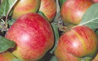Сорт яблок коричное новое
