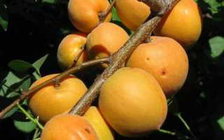 Характеристики абрикоса манитоба