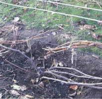 Систематический уход за виноградом в осенний период