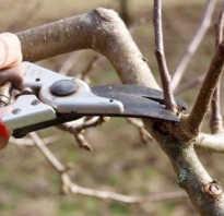 Как правильно подрезать яблоню весной