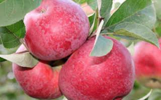 Яблоня лобо характеристика