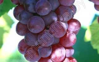 Сорта винограда для средней полосы минский розовый