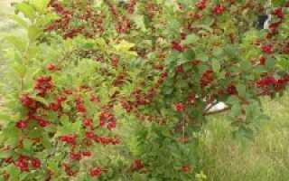 Правила ухода за войлочными вишнями