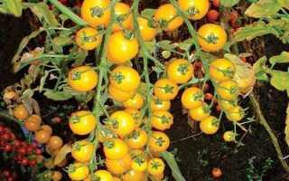 Томат вишня желтая характеристика сорта описание отзывы урожайность
