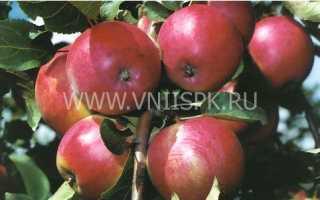 Описание характеристики и регионы распространения яблони сорта афродита
