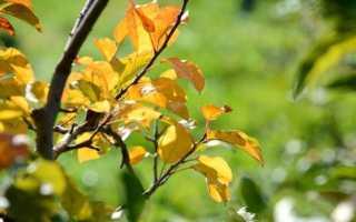 Причины пожелтения листьев у груши