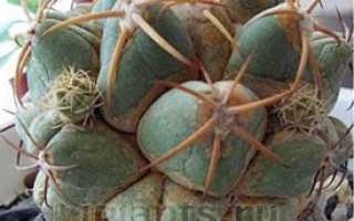 Вредители суккулентов и кактусов как бороться с ними