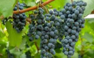 Сорт винограда амурский