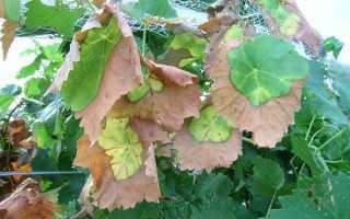 Листья винограда засыхают что делать