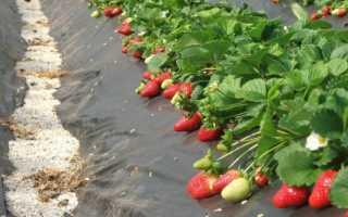 Как сажать клубнику осенью на укрывной материал
