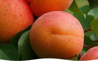 Зимостойкие сорта абрикоса для средней полосы россии