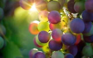 Описание новых сортов винограда 2020 года