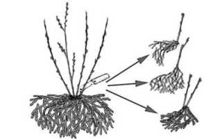 Как рассадить ежевику осенью