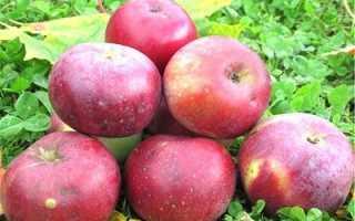 Выращивание яблони анис